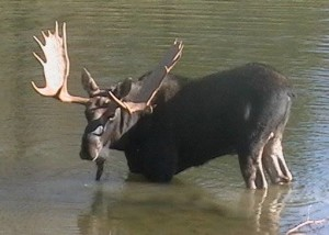 Moose Watching in Vermont and New Hampshire Bull Moose