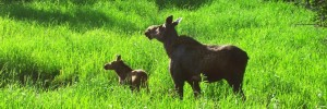 Moose Watching in Vermont and New Hampshire Cow and Calf