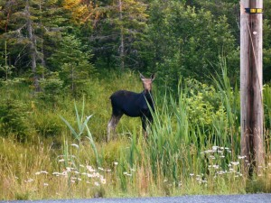 Moose Watching in Vermont and New Hampshire Cow Moose